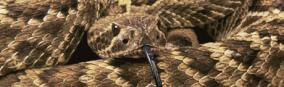 Mojave Rattlesnake Rear Window Graphic