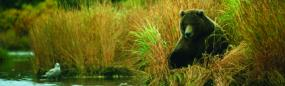 Grizzly Bear On Kulik River Rear Window Graphic