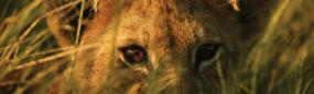 African Lion Cub Rear Window Graphic