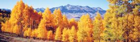 Fall Aspen Trees Rear Window Graphic
